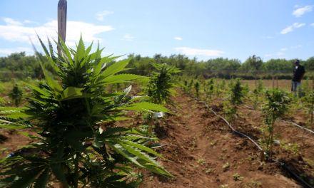 """Jamaica: Rasta """"Bob On The Job"""" Grow Master Manages Farm For Aphria"""