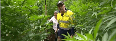 Huge Weed Busts In Northern NSW