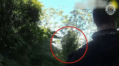 Aussie Cops Find Monster Weed Plant 3.6 Metres Tall !