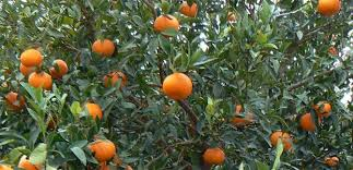 "Smuggling Hash In Oranges, Officers From The Guardia ""Seville"" Arrest Brits"