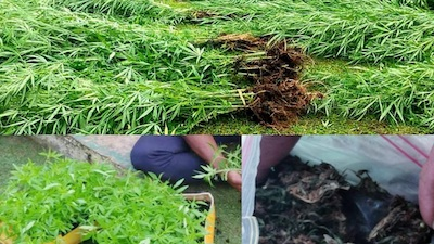 Police Bust 1500 Plant Grow In Fiji