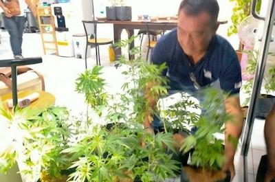 Spanish man arrested in Bangkok for allegedly growing marijuana plants