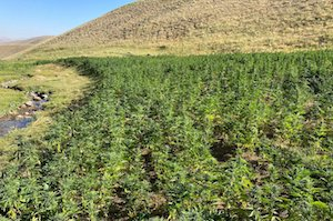 More than 1.5M cannabis roots seized from PKK in eastern Turkey