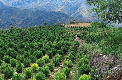 Albania Awash With Illegal Cannabis Grows