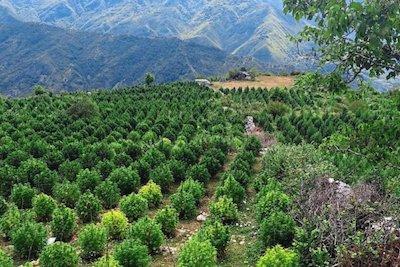 Albania Awash With Illegal Cannabis Grows