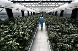 Go inside Australia's secret multi-million dollar cannabis farm as it's kept under 24-hour guard because the crop is incredibly potent – and it's 100 per cent legal