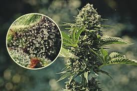 Trichomes Are the Key to Most Potent Cannabis Flowers
