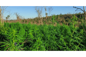 Illegal Cannabis Growers Burn Paraguayan Forest – Could Take A Decade Or More To Recover