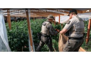 US: Major Stanislaus Sheriff's bust takes $100 million in illegal marijuana off streets