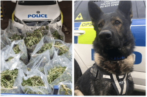 UK Police dog wades waist deep into water to reveal £1 million cannabis factory