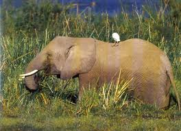 elephant and some kind of bird sittin in it