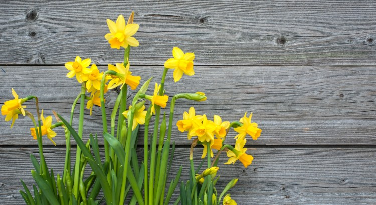 Spring daffodils against old wooden background