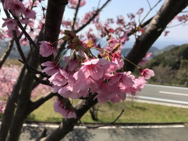 野福峠(西予市明浜町)の桜(ソメイヨシノ)は週末が良さそうなのですが・・・
