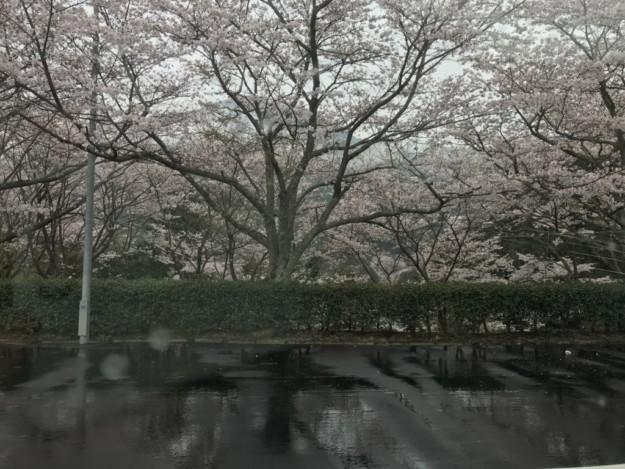 今週末は桜のピークですが、お花見のやり方には要注意!