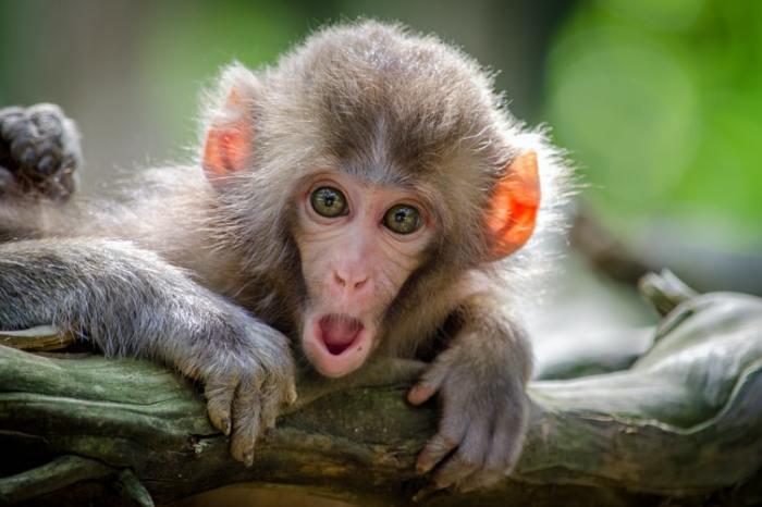 monkey addiction
