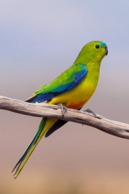 guide to birds of Tasmania Australia Orange Bellied Parrot