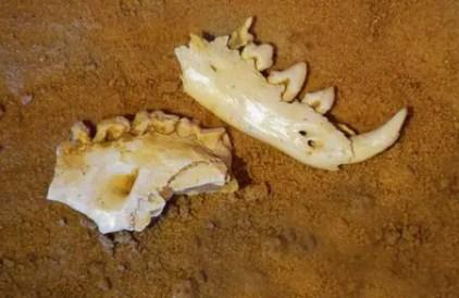 thylacine skull mungo