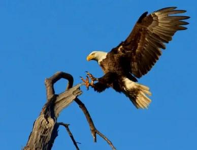 bald-eagle-1624943