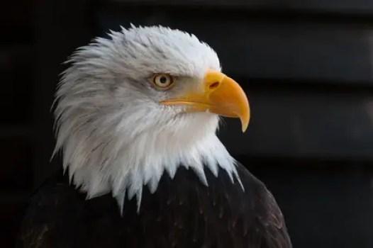 bald-eagles-341898