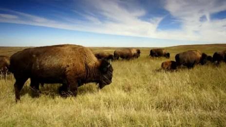 bison-1374067