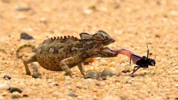 chameleon-1170042