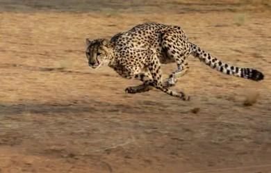 cheetah-2859581