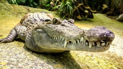 crocodile-1660512