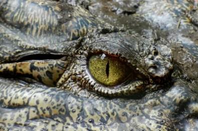 crocodile-630233