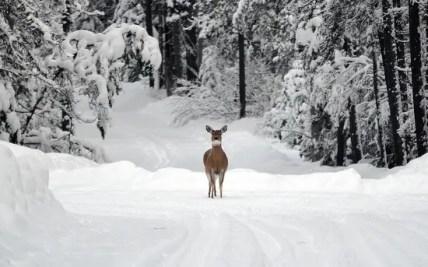 deer-1605673