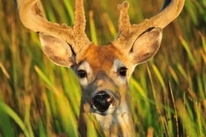deer-937003