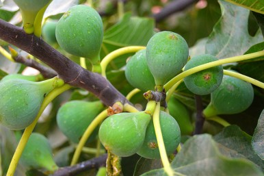 figs-2706820