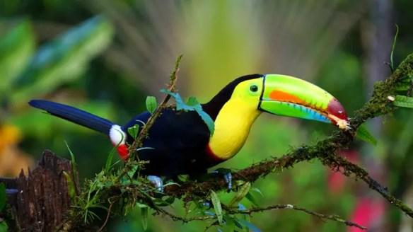 keel-billed-toucan-1021048
