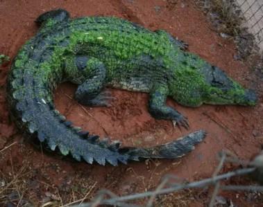kimberley-crocodile