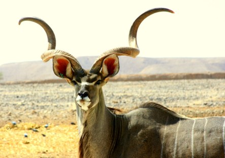 kudu-antelope-596804