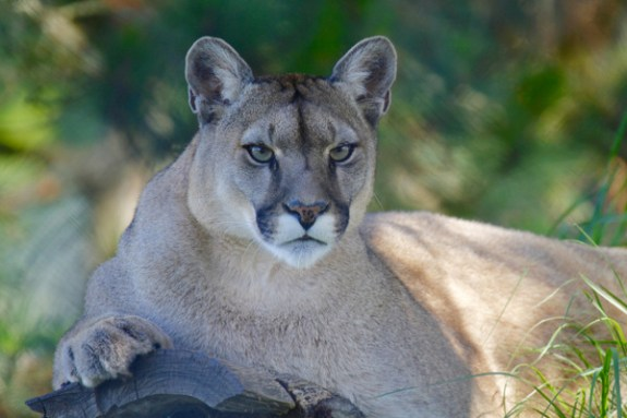 mountain-lion-1577644-001