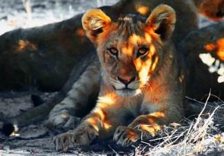 new-lion