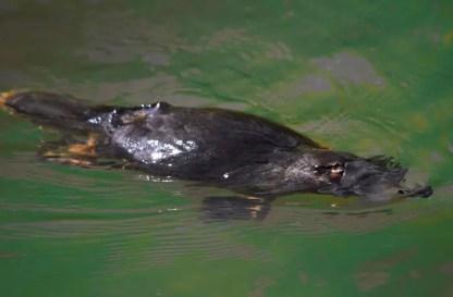 platypus-2