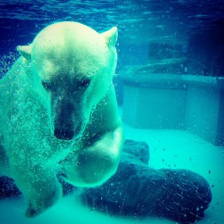polar-bear-493940_640