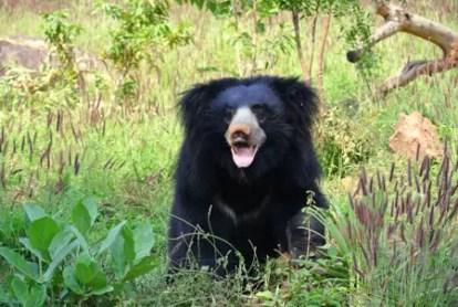 sloth-bear-1136129