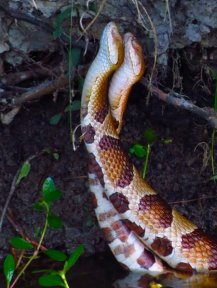 copperheead snake