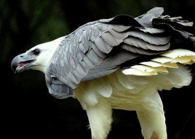 birds of tasmania guide australia white bellied sea eagle