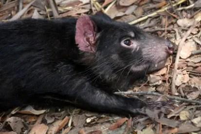tasmanian-devil-1592279