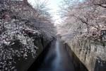 目黒川の桜2016!叙情あふれるクルーズとライトアップは必見!