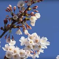 伊東温泉の桜