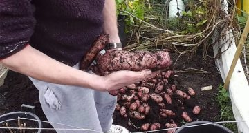 How To Grow Potatoes In Containers And Get An Amazing Yield