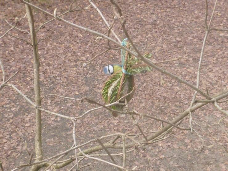 Blaumeise frisst selbstgemachtes Vogelfutter