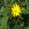 Aardpeer in bloei