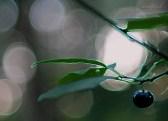 jagoda