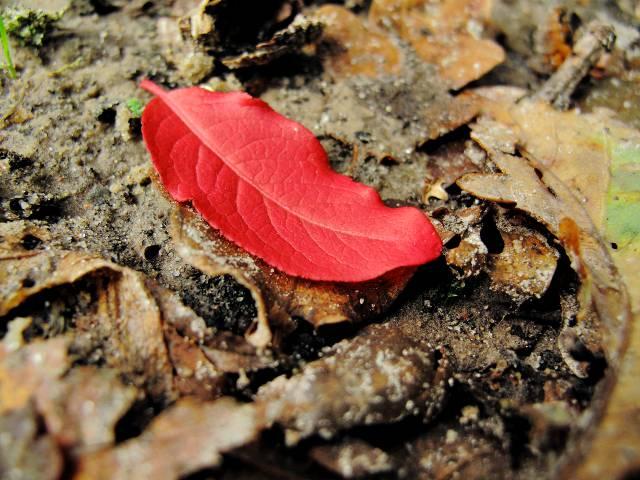 Leuchtend rotes Herbstblatt | Waldspaziergang.org