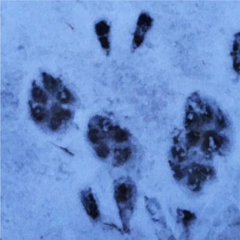 Dem Wolf auf der Spur. Wolfstracking im Hohen Fläming